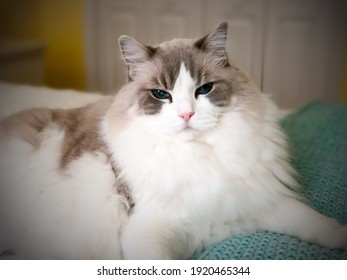 Grey and white ragdoll cat sitting on a bed looking pretty