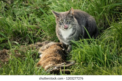 A grey and white tabby cat sits next to a dead rabbit, licking its lips, in a grassy field. Cat is looking at the camera next to its prey.