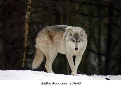 Grey Wolf 6