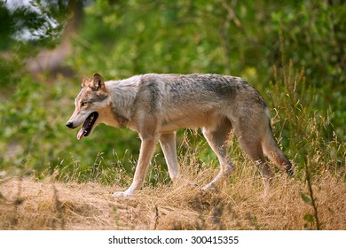 A Grey Wolf (Canis lupus)