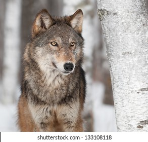 Grey Wolf (Canis lupus) By Birch Tree - captive animal