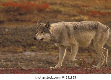 Grey Wolf (Canis lupus) can cover miles of tundra daily in search of prey. Denali National Park, Alaska.