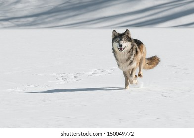 Grey Wolf (Canis lupus) Comes Running  - captive animal