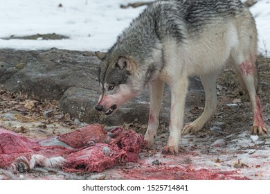 Grey Wolf (Canis lupus) Defends White-Tail Deer Carcass Winter - captive animal