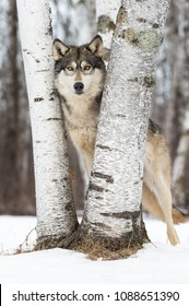 Grey Wolf (Canis lupus) Eyes Left Between Trees - captive animal