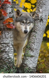Grey Wolf (Canis lupus) Eyes Downcast Between Birch Trees Autumn - captive animal