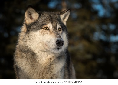 Grey Wolf (Canis lupus) Head Against Dark Background - captive animal