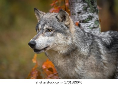 Grey Wolf (Canis lupus) Head Between Trees Mouth Slightly Open Left Autumn - captive animal