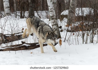 Grey Wolf (Canis lupus) Hops Over Logs
