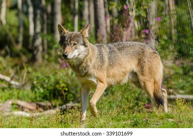 Grey wolf (Canis Lupus)  hunting in a forest in summer time