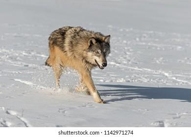 Grey Wolf (Canis lupus) Kicks Up Snow - captive animal