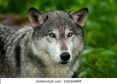 Grey Wolf (Canis lupus) Looking Out - captive animal
