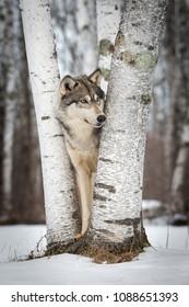 Grey Wolf (Canis lupus) Looks Around Tree - captive animal