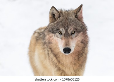 Grey Wolf (Canis lupus) Looks Out Against White - captive animal