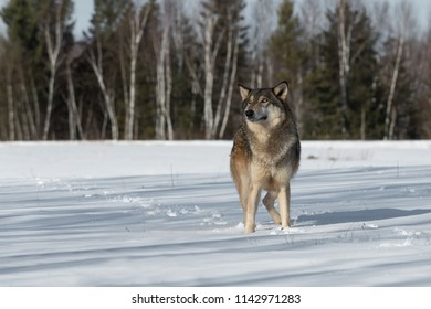 Grey Wolf (Canis lupus) Looks Up in Field - captive animal