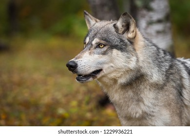 Grey Wolf (Canis lupus) Looks Up and Left in Autumn Wood - captive animal