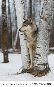 Grey Wolf (Canis lupus) Looks Left From Between Birch Trees - captive animal