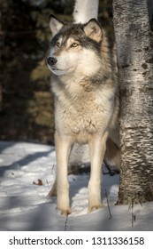 Grey Wolf (Canis lupus) Looks Up Next to Tree Winter - captive animal