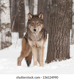 Grey Wolf (Canis lupus) Looks Forward - captive animal