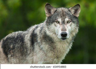 Grey Wolf (Canis lupus) Looks Out Head and Body - captive animal