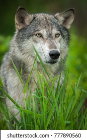 Grey Wolf (Canis lupus) Looks to Right - captive animal