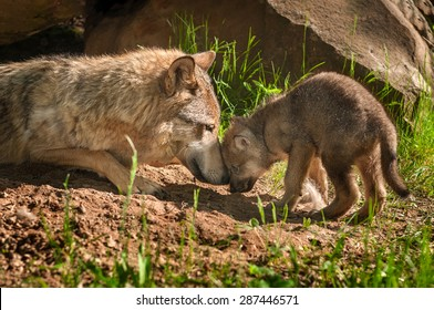 Grey Wolf (Canis lupus) Mother and Pup Touch Outside Den - captive animals