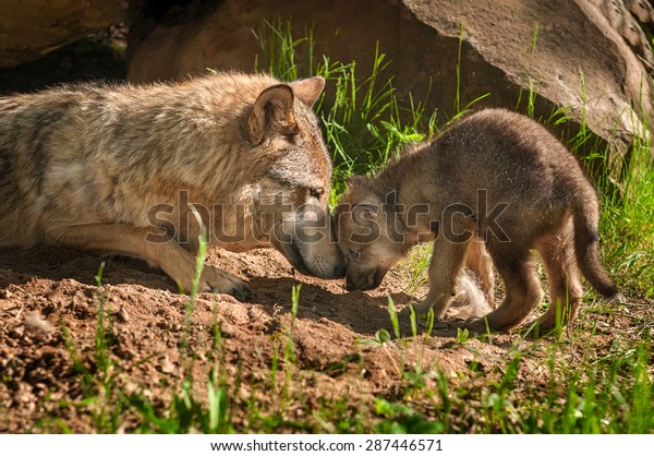 grey-wolf-canis-lupus-mother-600w-287446