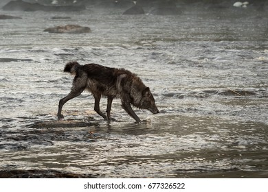 Grey Wolf (Canis lupus) Moves Through Water Head Down - captive animal