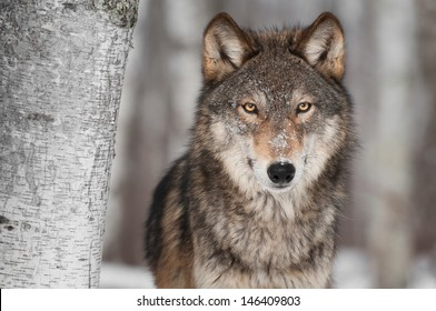 Grey Wolf (Canis lupus) Next to Birch Tree - captive animal