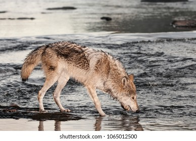Grey Wolf (Canis lupus) Nose to Water - captive animal