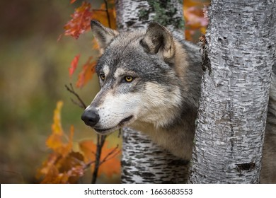 Grey Wolf (Canis lupus) Pokes Head Between Birch Trees Autumn - captive animal