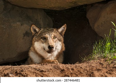 Grey Wolf (Canis lupus) Pokes Head out of Den - captive animal