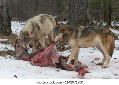 Grey Wolf (Canis lupus) Pull on White-Tail Deer Hide - captive animals