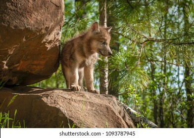 Grey Wolf (Canis lupus) Pup Stands on Den - captive animal