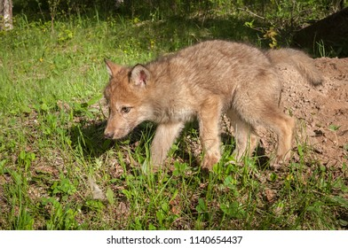 Grey Wolf (Canis lupus) Pup Walks Left - captive animal