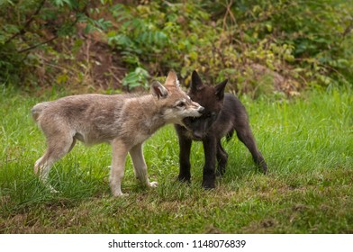 Grey Wolf (Canis lupus) Pup Bites At Face of Sibling - captive animals