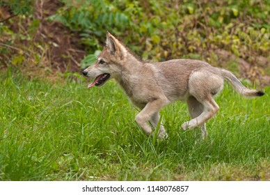 Grey Wolf (Canis lupus) Pup Runs Left - captive animal