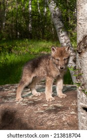 Grey Wolf (Canis lupus) Pup on Rock - captive animal