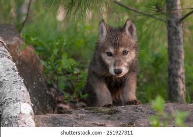 Grey Wolf (Canis lupus) Pup Climbs Over Rock - captive animal