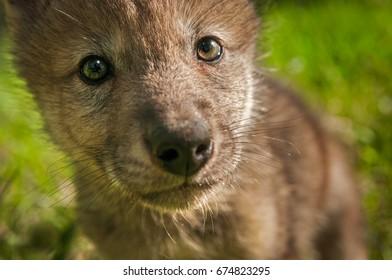 Grey Wolf (Canis lupus) Pup Extreme Close Up - captive animal