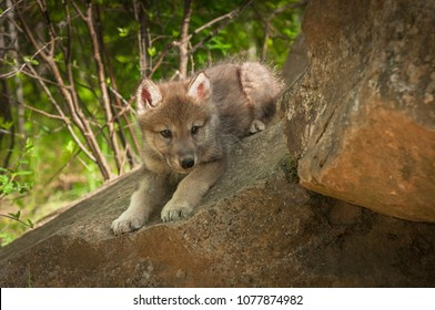 Grey Wolf (Canis lupus) Pups Looks Around Rock - captive animal