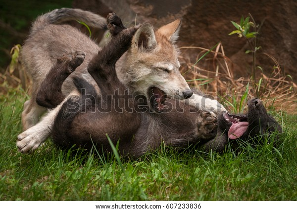 grey-wolf-canis-lupus-pups-600w-60723383