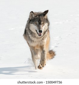 Grey Wolf (Canis lupus) Running Straight at Viewer - captive animal