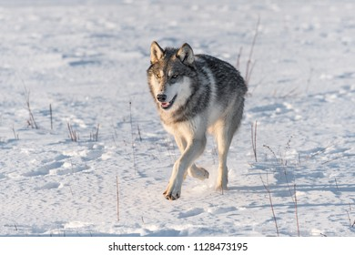 Grey Wolf (Canis lupus) Runs Forward Close Up - captive animal