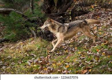 Grey Wolf (Canis lupus) Runs Left Through Autumn Leaves - captive animal