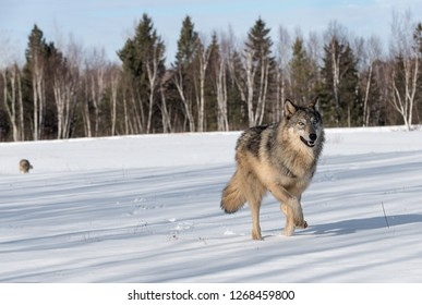 Grey Wolf (Canis lupus) Runs Right Another Wolf in Background Winter - captive animals