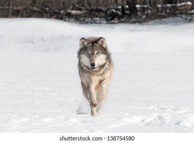 Grey Wolf (Canis lupus) Runs Directly at Viewer - captive animal
