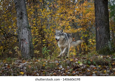 Grey Wolf (Canis lupus) Runs Forward Through Forest Autumn - captive animal