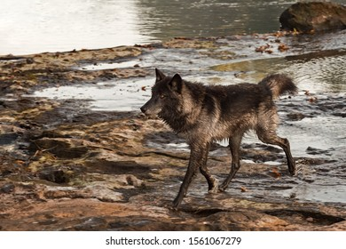 Grey Wolf (Canis lupus) Runs Out of River Autumn - captive animal
