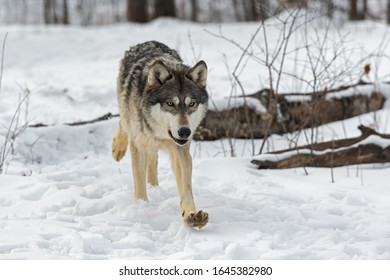 Grey Wolf (Canis lupus) Runs Forward Paw Up Winter - captive animal